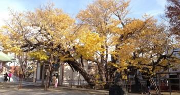豊受神社の大銀杏